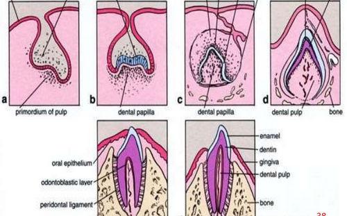 افضل 5 فيديوهات لشرح ال Tooth Development
