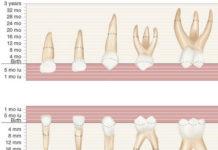 Primary teeth anatomy platform