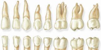 Dental Anatomy & Histology - Dentistry online